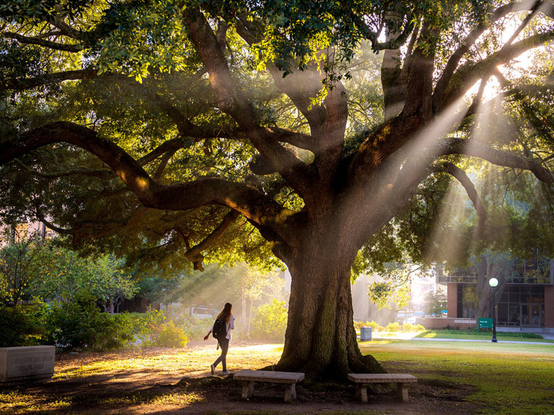 student walks under large oak tree with light streaming through the branches.